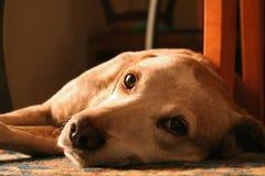 Portrait of cute dog. Portrait of cute golden retriever dog lying on side Royalty Free Stock Image