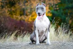 Portrait cute dog blue american staffordshire terrier pit bull puppy standing on a stump in the forest in nature