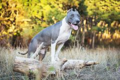 Portrait cute dog blue american staffordshire terrier pit bull puppy walking in autumn park, standing on a tree stock images
