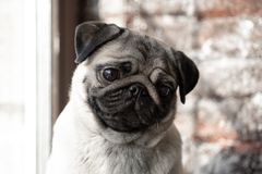 Portrait of a cute dog breed pug that sits on the window and sad stock image