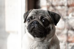 Portrait of a cute dog breed pug that sits on the window and sad stock images