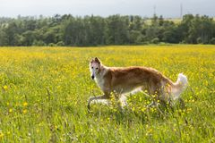 Portrait of cute dog breed russian borzoi running in the green grass and yellow buttercup field in summer at sunset. Portrait of cute dog breed russian borzoi royalty free stock photo