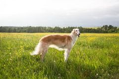 Portrait of cute dog breed russian borzoi standing in the green grass and yellow buttercup field in summer at sunset.  stock photography