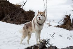 Portrait of cute dog breed Siberian Husky standing in the forest.  royalty free stock photo