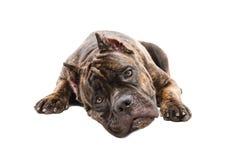 Portrait of a cute dog Cane Corso Royalty Free Stock Photos