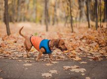 Portrait cute dog dachshund breed, black and tan, dressed in a raincoat, cool autumn weather for a walk in the park. stock photo