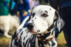 Portrait of a cute dog Dalmatian closeup on a walk stock image
