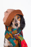 Portrait of cute dog with hat. This dog is prepared for the cold winter days Stock Photo