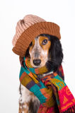 Portrait of cute dog with hat. This dog is prepared for the cold winter days Stock Photos