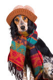 Portrait of cute dog with hat. This dog is prepared for the cold winter days Stock Photography