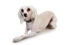 Portrait of cute dog Royalty Free Stock Photography