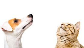 Portrait of cute dog Jack Russell Terrier and  cat Scottish Straight looking up. Portrait of cute dog Jack Russell Terrier and  cat Scottish Straight, side view royalty free stock photos