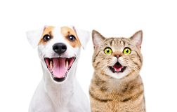 Portrait of cute dog Jack Russell Terrier and cheerful cat Scottish Straight. Isolated on white background stock photos