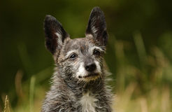 Portrait of cute dog. Portrait of cute mongrel dog with large ears Royalty Free Stock Image