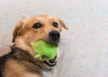 Dog with ball in his mouth Stock Photo