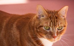 Portrait of cute domestic red cat close up on the pink background. stock images