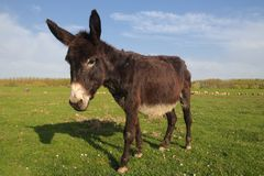 Cute donkey on the floral spring field. Portrait of cute donkey on the floral spring field Royalty Free Stock Photos