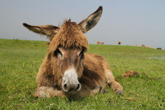 Portrait of cute donkey medow Stock Photos