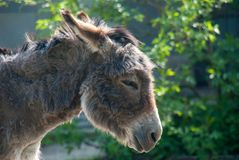 Portrait of a cute furry donkey standing in the sun royalty free stock images