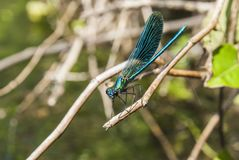 Dragonfly Libellula Royalty Free Stock Photography