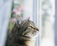 Portrait of a cute edgy cat sitting on a window surrounded by white tulle and dreamy looking outside. Portrait of a cute edgy cat sitting on a window surrounded royalty free stock images