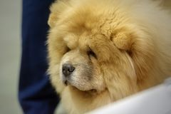 Portrait of a cute endearing Chow-Chow dog stock photos