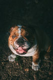 Portrait of cute English bulldog. In low light Stock Images