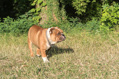 Portrait of cute English bulldog. Portrait of young English bulldog in the nature,selective focus Stock Images