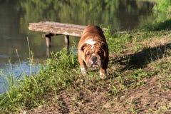 Portrait of cute English bulldog. Portrait of young English bulldog near the lake,selective focus Royalty Free Stock Photo