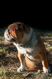 Portrait of cute English bulldog. Portrait of young English bulldog outdoor in low light Stock Photography