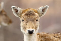 Portrait of cute fallow deer hind Royalty Free Stock Image
