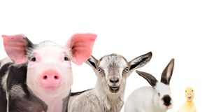 Portrait of cute farm animals, closeup. Isolated on white background Stock Photo