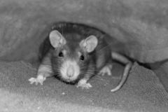 Portrait of a cute fluffy young rat gray with black eyes sepia effect close-up looks at the camera royalty free stock photos