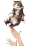 Portrait of a cute flying fluffy kitten Royalty Free Stock Photo