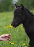 Portrait of a cute foal with the flower. Portrait of a little cute foal with the flower Royalty Free Stock Photos