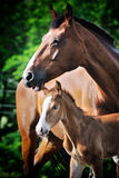 Portrait of cute foal with his mother. Portrait of  chestnut foal with his mother Stock Photos