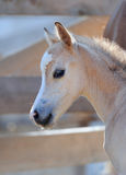 Portrait of a cute foal Stock Photos