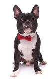 Portrait of a cute french bulldog puppy wearing bow tie Stock Photo