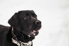 Portrait of cute funny black labrador dog Stock Photo