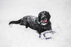Cute funny black labrador dog Stock Images