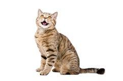Portrait of a cute funny cat Scottish Straight Stock Photo