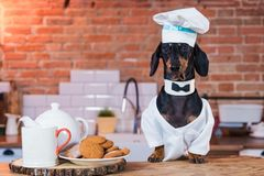 Portrait of a cute funny dachshund dog, black tan, in kitchen cooking or eating on table with white chef hat royalty free stock images