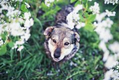 Portrait of cute funny dog sitting on background of cherry blossoms in spring clear may garden and will look up. Cute funny dog sitting on background of cherry royalty free stock images