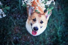Portrait of cute funny puppy red dog Corgi looking up on natural background of cherry blossoms in spring evening may garden. Portrait of cute puppy red dog Corgi stock image