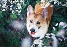 Portrait of cute funny puppy red dog Corgi looking up on natural background of cherry blossoms in spring evening may garden. Portrait of cute puppy red dog Corgi royalty free stock photo