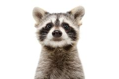 Portrait of a cute funny raccoon. Isolated on white background stock photos