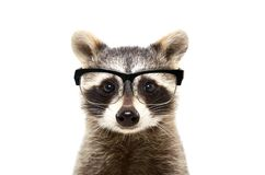 Portrait of a cute funny raccoon wearing glasses Stock Photo