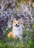 Portrait of cute funny red dog Corgi puppy sitting on background of flowering shrubs in spring clear may garden and smiling. Portrait of red dog Corgi puppy stock photo