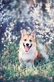 Cute funny red dog Corgi puppy sitting on natural background of flowering shrubs in spring evening may garden. Portrait of cute funny red dog Corgi puppy sitting royalty free stock image