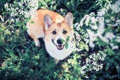 Portrait of cute funny red dog puppy Corgi sitting on natural background of flowering shrubs in spring evening may garden and stock photography
